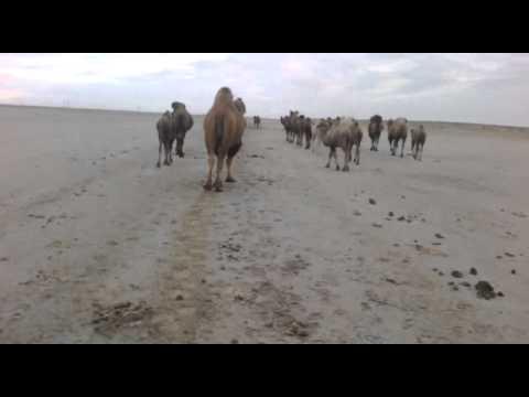 Дикие верблюды!