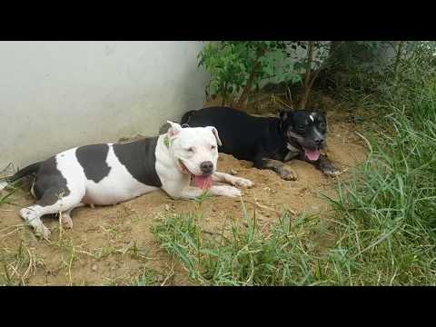 ASMR Tired Pit Bulls Are Happy Dogs