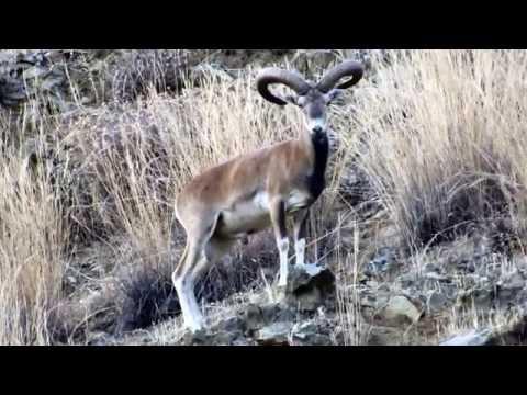 Ovis orientalis (Cyprian Wild Sheep, Cyprus Mouflon) Αγρινό - Cyprus