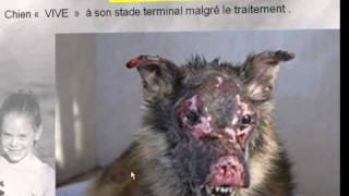 Leishmaniose du chien : diagnostic-traitement-prévention (partie 2)