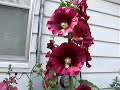 Hollyhocks are Hocking