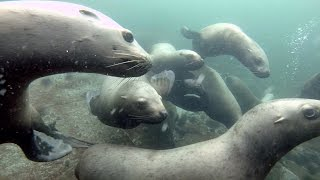 Encounter with Steller sea lions at Hornby Island