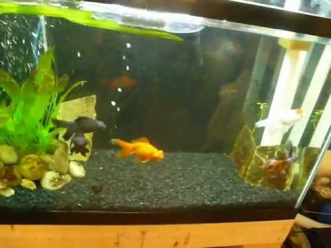 Fancy goldfish tank black moor oranda calico youtube for Fancy fish tanks