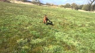 Rottweiler Cross Staffy