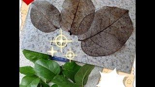 Скелетирование листьев (The skeletization leaves)