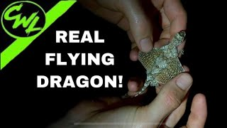 Real life FLYING DRAGONS!!!