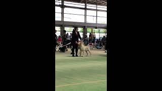 2018年 4月29日 福岡全犬種クラブ展 G8 ラブラドール ♂ ウィナ...