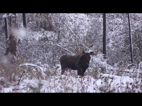 INCREDIBLY VOCAL BULL MOOSE COMES RIGHT IN ON A SNOWY ALBERTA DAY