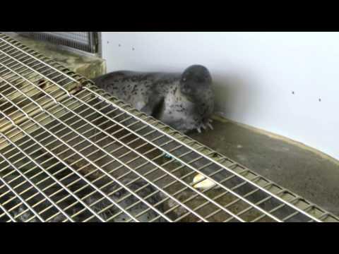 Seal Frenzy At Seaside Aquarium Part 2