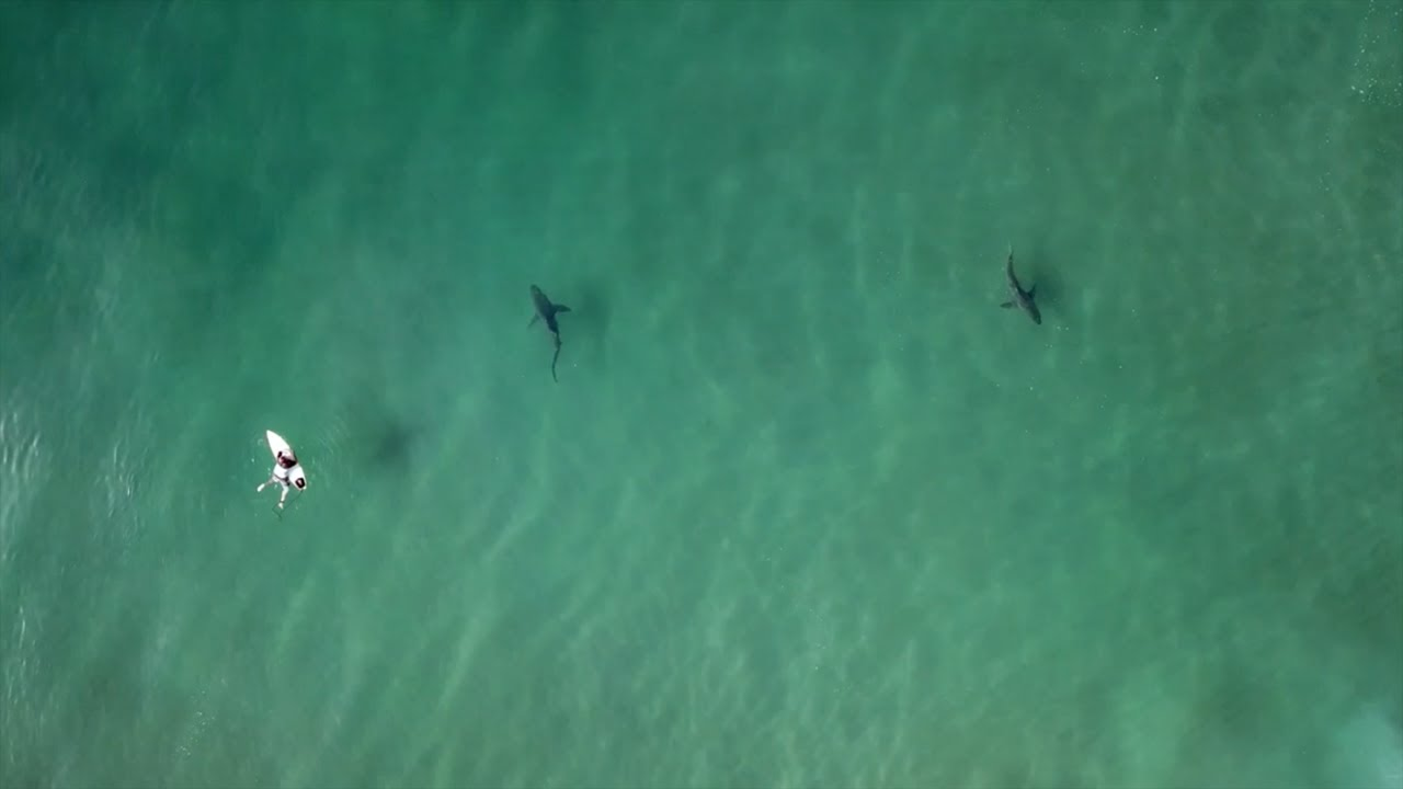 Sharks Circling Surfers in Durban, South Africa