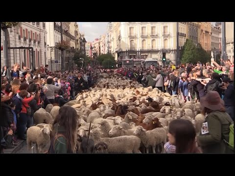 Spain protest sends sheep into Madrid streets