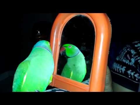 Talking parrot - Funny - Indian red neck parrot -