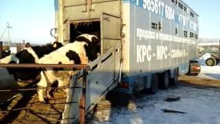 Транспортировка животных - Перевозка КРС МРС Скотовозами по РФ и СНГ!
