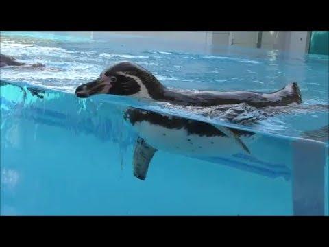 フンボルトペンギン可愛いを詰め合わせ♥水槽の先に行こうと頑張るペンギン・無言の圧力をかけるペンギン・ペンギンのごはんタイム【鳥羽水族館】aquarium