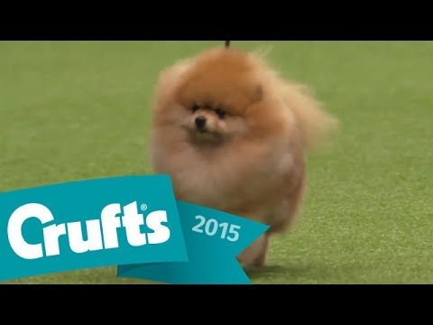 Maltese wins Toy Group Judging | Crufts 2015