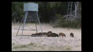 Video Oklahoma Hog Hunt 2013 download MP3, 3GP, MP4, WEBM, AVI, FLV Desember 2017