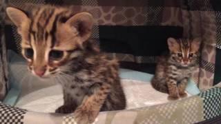 Котята АЛК весна 2017г. (Bengal kittens spring 2017)