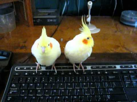 Cute Cockatiel Wallpaper Cute Cockatiel Moment Youtube