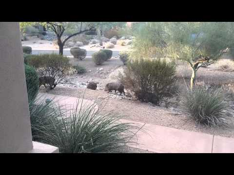 What does a Javelina / Peccary look like?  Arizona Animals HD
