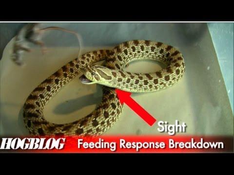"""Hog Blog: Episode One """"Wild Diet and Feeding Response"""""""