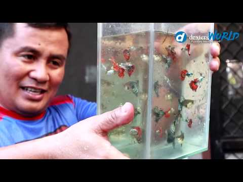 My BREEDER GUPPIES  Gave Birth To Thousands Of BABIES & GOLDFISH LICE Update!
