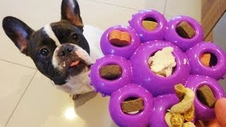 A French Bulldog Kong Quest