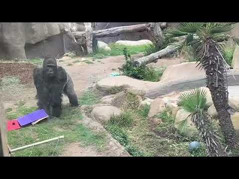 Gorilla Nzinga drumming インジンガ ドラミング ゴリラ🦍 サンタバーバラ動物園