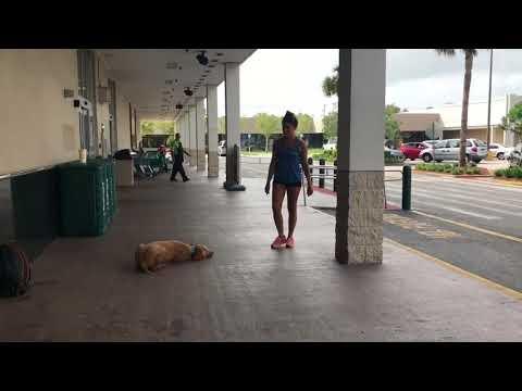 "11m/o Goldendoodle ""Luke"" | Goldendoodle Dog Trainers | Central Florida Dog Trainers"