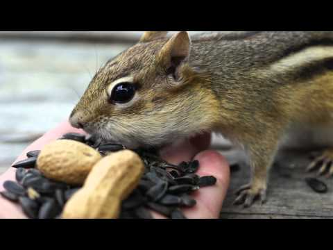 Handfeeding A Chipmunk