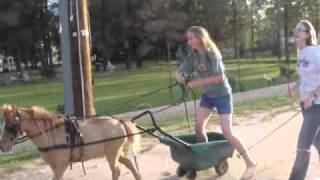 Miniature Horse Pulling A Wheelbarrow