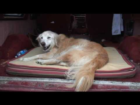 My Golden Retriever Is Dying