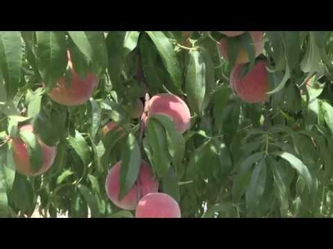 Tennessee Peaches at Forgie's Fruit Farm