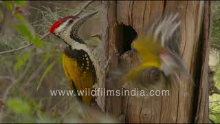 Flameback or Golden-backed Woodpecker excavates nest-hole in Casuarina, spits out chiselled wood