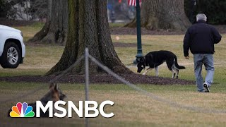 Presidential Pups Champ And Major Join Bidens At The White House | The 11th Hour | MSNBC