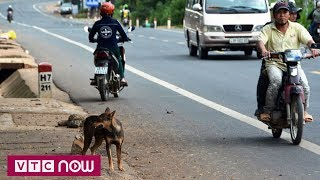 Những tai nạn bất ngờ khi va phải chó thả rông