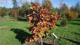 Quercus dentata 'Carl Ferris Miller' video