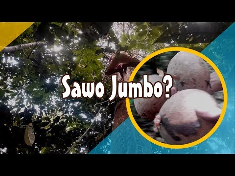 Buah Unik Hutan Kalimantan, Sawo Jumbo? | Vlog Blusukan