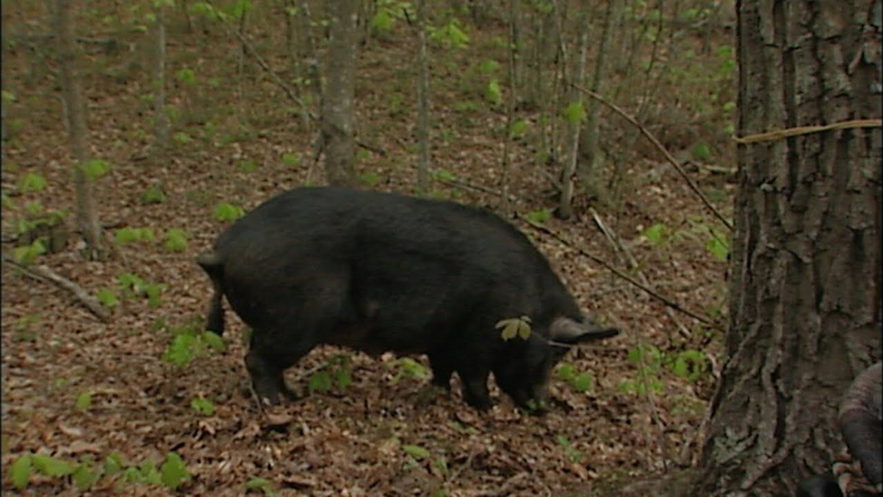 R Hogs Wild SideTV-Wil...