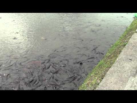 Fishes Of Rani Pokhari Kathmandu Nepal HD