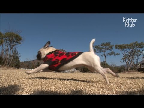 This Funny Dog Runs Like Usain Bolt All Day Long | Kritter Klub