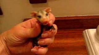 Mary Cummins, Animal Advocates, Baby opossum calling for mom