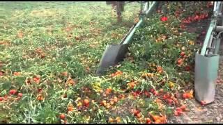 Apripista pomodori Guaresi