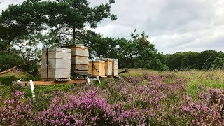 Beekeeping with the Flow Hive in the Netherlands at Radio Kootwijk.