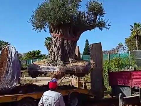 מגה וברק עצי זית עתיקים למכירה משתלות ירוק ישראלי 03-7655555 - YouTube BY-94