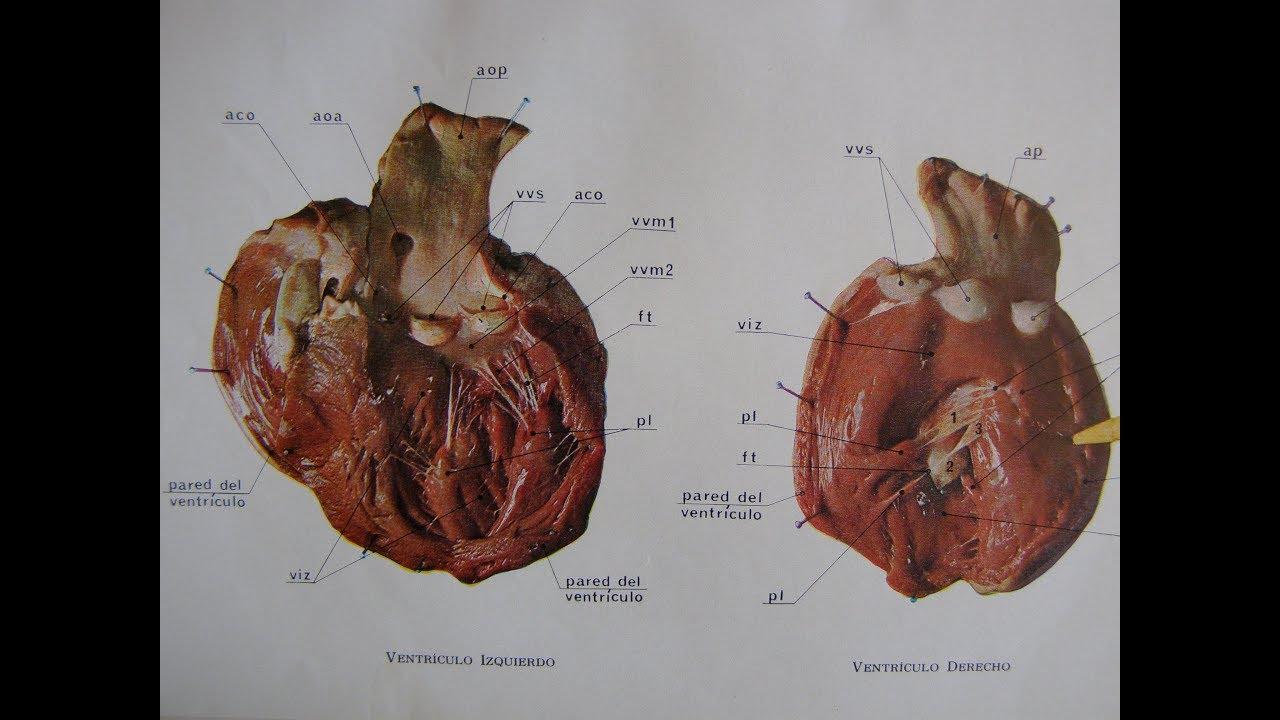 Disección Anatómica del Corazón de Cordero en detalle. - YouTube