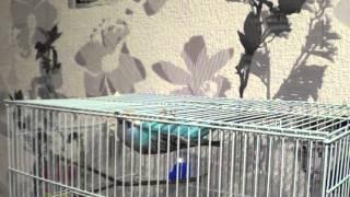 как спит волнистый попугай