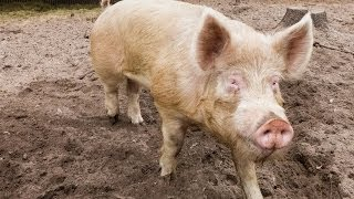 Repeat youtube video Don't Support Factory Farming: How to Raise Your Own Pigs For Meat