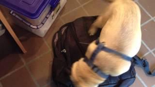 Funny Pug Video: Jack The Pug Makes Himself Comfy On My Backpack