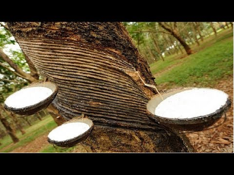 Amazing Asia Agriculture Natural Rubber Farm - Rubber Harvesting and Processing