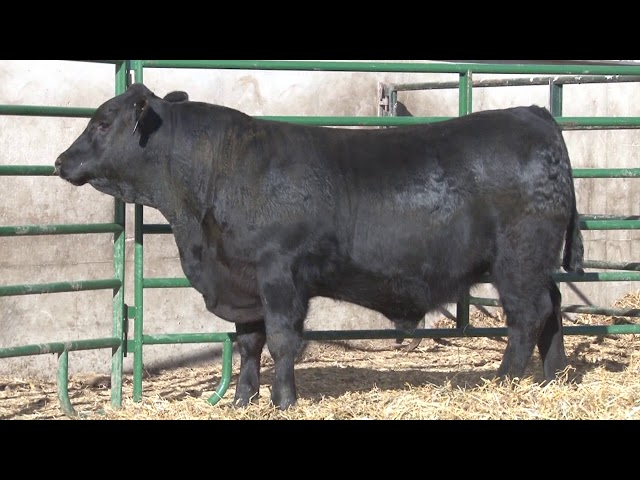Schiefelbein Angus Farms Lot 229